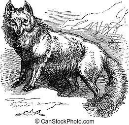 zorro ártico, o, vulpes, lagopus, vendimia, grabado