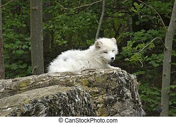 zorro ártico, reclinación encendido, formación de roca
