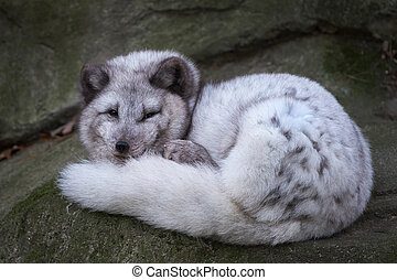zorro ártico, (vulpes, lagopus)