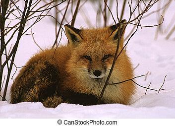 zorro, invierno, rojo