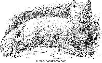 zorro, lagopus), vendimia, zorro ártico, (vulpes, blanco, o, engraving.
