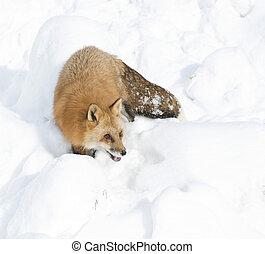 zorro rojo, ambulante