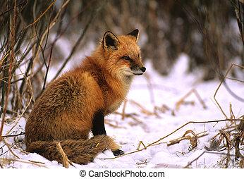 zorro rojo, en, nieve
