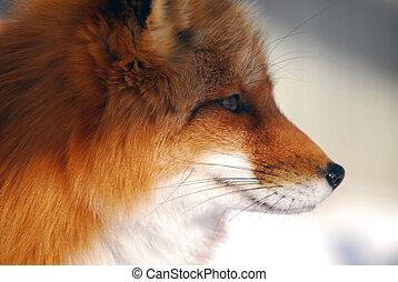 zorro rojo