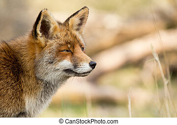 zorro, rojo