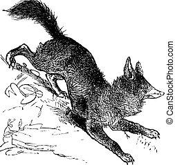 zorro rojo, o, vulpes vulpes, vendimia, grabado