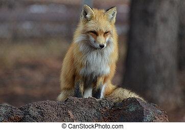 zorro rojo, perched, en, un, roca