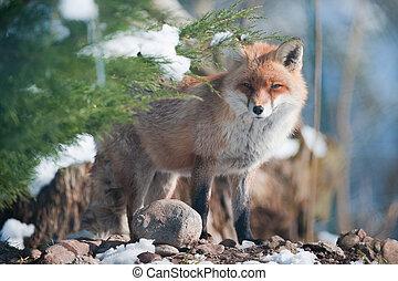 zorro rojo, posición, en, el, bosque