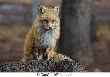 zorro rojo, sentado, en, un, roca