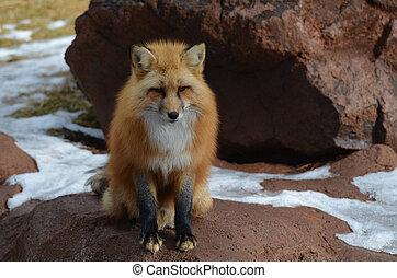 zorro rojo, sentado, en, un, rocoso, afuera, cropping