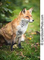 zorro rojo, (vulpes, vulpes)