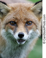 zorro rojo, vulpes vulpes