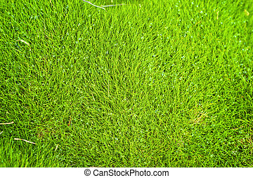 zoysia grass is very hardy and salt tolerant, so it grows ...
