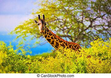 zsiráf, alatt, bush., szafari, alatt, tsavo, nyugat, kenya,...