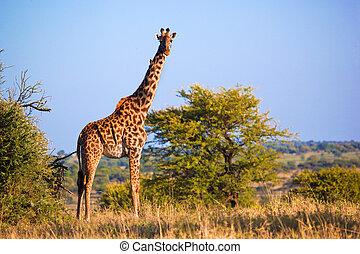 zsiráf, képben látható, savanna., szafari, alatt, serengeti, tanzánia, afrika