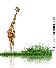 zsiráf, noha, zöld fű, elszigetelt