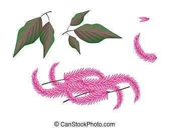 zubehörteil, von, amaranthus, cruentus, pflanze, weiß, hintergrund