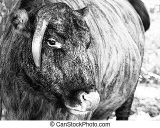 zubron, -, híbrido, bisonte, boiada, doméstico, europeu