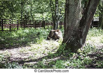 zubron, -, hybride, bison, vieh, inländisch, europäische