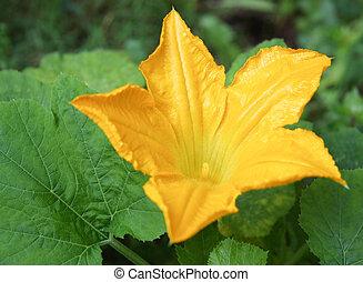 Zucchini Flower - Zucchini flower blossom growing in a...