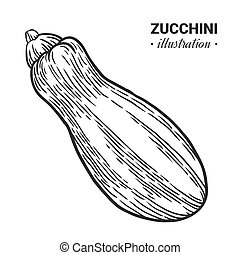 Zucchini fresh food vector hand drawn illustration.