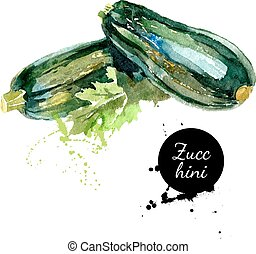 Zucchini. Hand drawn watercolor painting on white...
