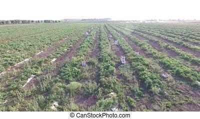 zucchini, melanzane, fields., pomodori, patate, verdura,...