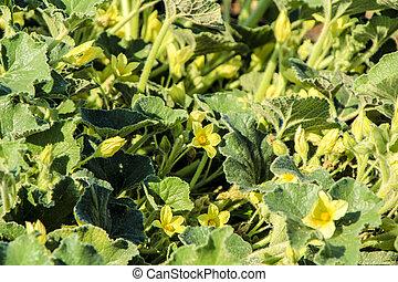 Zucchini plant (Cucurbita Pepo) in a garden