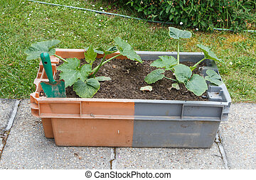zucchini plant in a garden