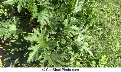 zucchini vegetable garden