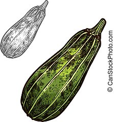 Zucchini vegetable sketch with green courgette - Zucchini...