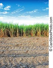 zuckerrohr, thailand