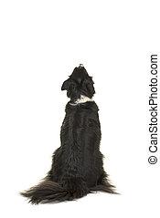 zurück, collie, freigestellt, hund, auf, schauen, ...