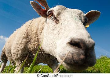 zvědavý, sheep