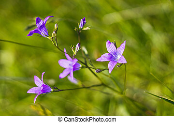 zvoneček, nach, campanula, překrásný, -, patula, květiny, rozšířit se
