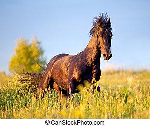 zwart paard, field., gallops