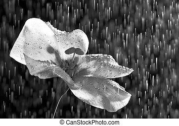 zwart wit, bloem, en, regen