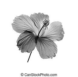 zwart wit, bloem, vrijstaand, op wit, achtergrond