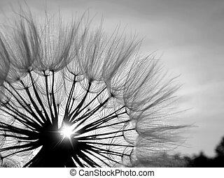 zwart wit, paardenbloem, in de zon