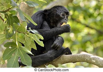 zwarte-aangevoerde, boompje, spin aap