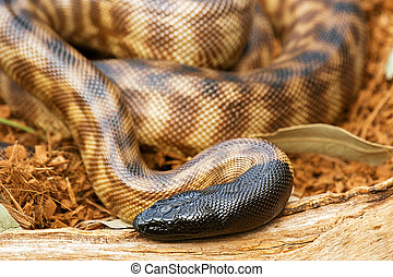 zwarte-aangevoerde, python