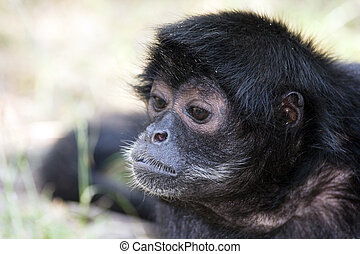 zwarte-aangevoerde, spin aap