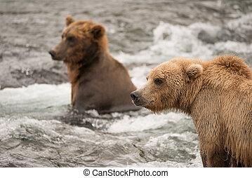 zwei bären, fischerei, für, lachs, in, fluß