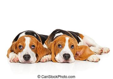 zwei, beagle, hundebabys, weiß, hintergrund