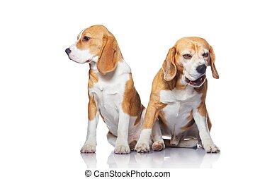 zwei, beagle, hunden, freigestellt, weiß, hintergrund