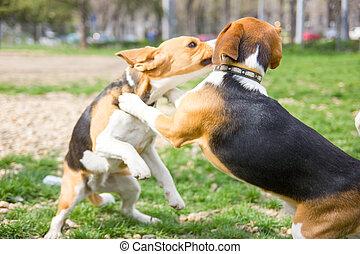 zwei, beagle, hunden, ringen, und, spielende