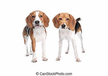 zwei, beagle, hunden