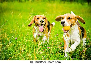 zwei, beagle
