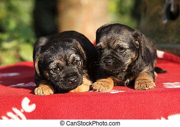 zwei, bezaubernd, hundebabys, liegen, auf, decke