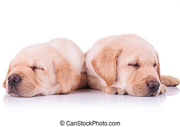 zwei, bezaubernd, labradorhundapportierhund, junger hund, hunden, eingeschlafen